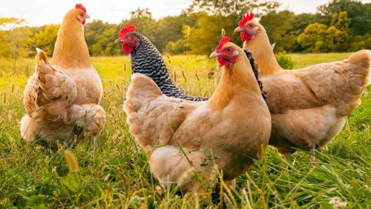 Cara Sukses Bisnis Ternak Ayam Kampung